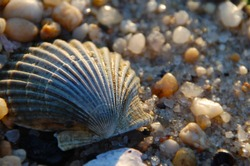 Scallop shell on the beach surrounded by pebbles and small rocks at sunset, while the waves crash nearby. The seashell is delicate and beautiful in the warm summer evening light.