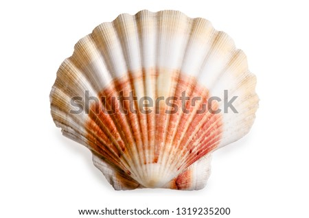 Scallop Shell Seashell Mollusk Bivalvia Pectinida Ocean Sea Salt