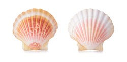 Scallop shells in a row. Isolated on white background.