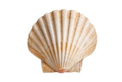 scallops sea shell (See Pectinidae) on the white background