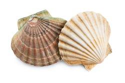 scallops shells (See Pectinidae) on the white background