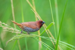Scaly-breasted Munia (Lonchura punctulata) sitting on a green grass. seen in a India.