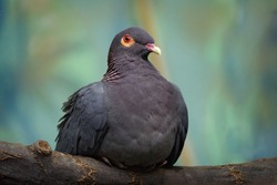 Scaly-naped Pigeon, Patagioenas squamosa, wood pigeon, Sulawesi, Indonesia. Rare bird from Asia, green vegetation. Beautiful detail close-up portrait of birds with yellow red eyes.