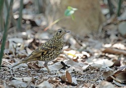 Scaly thrush (Zoothera dauma).The scaly thrush is a member of the thrush family Turdidae.