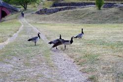 Scandinavia gooses on the ground