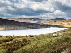 Scar House reservoir in Nidderdale - with water and mountains and blue cloudy skies. Swaledale sheep are overlooking the water and it is a beautiful Spring day.