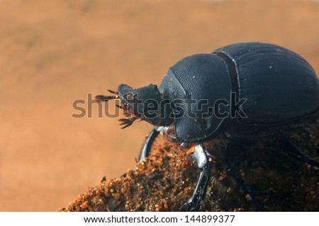 Scarab beetle from Tamil Nadu, South India. This is one of the common dung beetles.