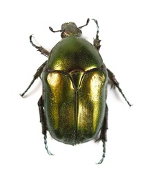 Scarab beetle Protaetia metallica isolated on white background
