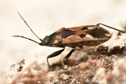 Scarab beetle Valgus hemipterus macrophotography
