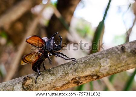 Scarab beetle,Xylotrupes Gideon Linneaus #757311832