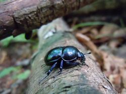 scarab that laboriously climbs over an obstacle in the middle of the mountain path