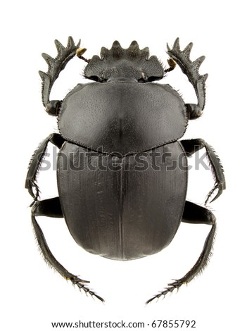 Scarabaeus pius (dung beetle) isolated on a white background
