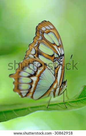 Scarce bamboo page  butterfly (Philaethria didoclose) on a leaf