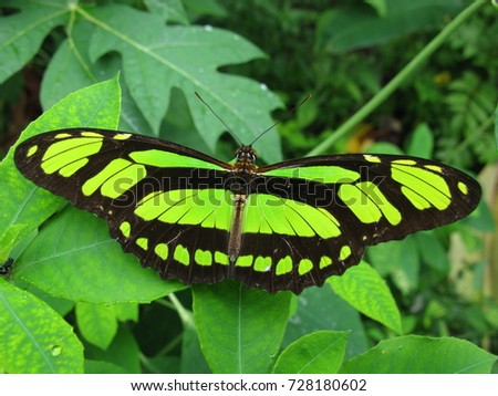 Scarce bamboo page, Philaethria dido. butterfly, Nymphalidae family. Amazon rainforest,  Brazil.