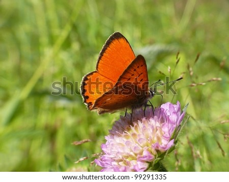 Scarce copper, Lycaena virgaurea