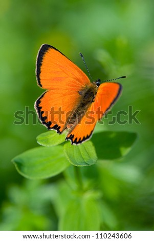 Scarce Copper (Lycaena virgaureae), male