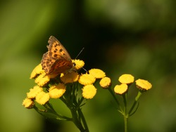 Scarce copper (Lycaena virgaureae) - orange butterfly on yellow tansy flowers (Tanacetum vulgare), Gdansk, Poland