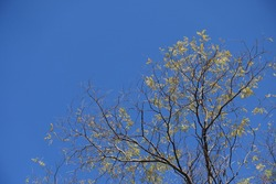 Scarce leafage on branches of Styphnolobium japonicum against blue sky in mid October