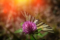 Scarce sail swallowtail butterfly sitting on flower summer insect nature close up macro