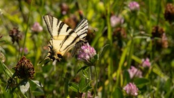 Scarce Swallowtail (Iphiclides podalirius) gathers a red clover flower. Magnificent butterfly of European fauna. Insect on a sunny day in June in the south of France. Passion for entomology