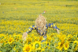 Scarecrow guarding sunflower field.