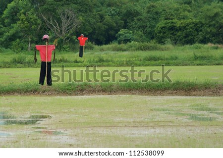 scarecrow in paddy field.