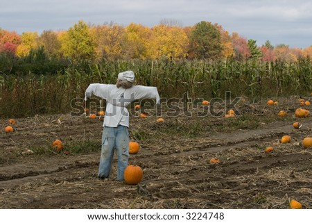 scarecrow in pumpkin patch - stock photo