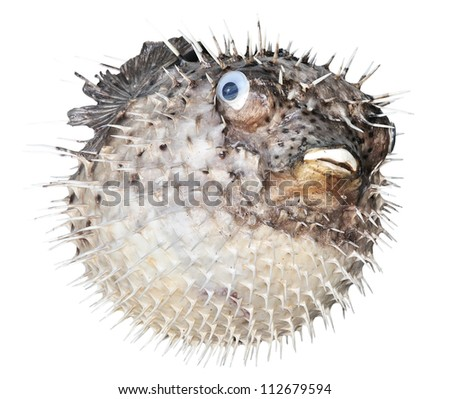 Scarecrow of a sea hedgehog on a white background