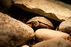 Scared baby Russian tortoise partially hiding its head and legs in shell close view | Baby steppe tortoise hiding in carapace, among rocks, Tortoise under light bulb