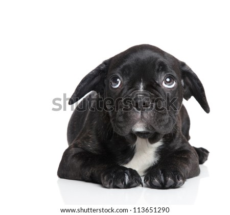 Scared French bulldog puppy on a white background