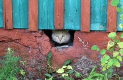 scared ginger cat peeks out of the hole under the house
