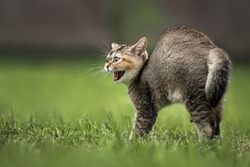 scared hissing tabby kitten outdoors, close up