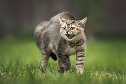 scared tabby kitten hissing outdoors, close up