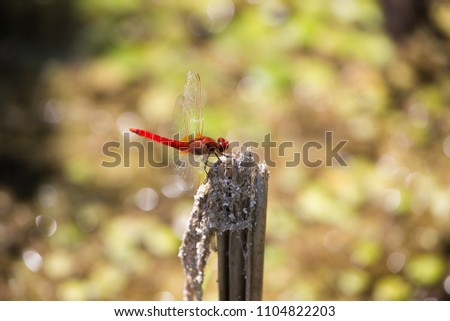 Scarlet dragonfly (Crocothemis erythraea) on brunch, Damselfly, red scarlet Dragonfly, Insect, Libellulidae, animal background #1104822203