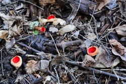 Scarlet elf cup, scarlet elf cap, or the scarlet cup (Sarcoscypha coccinea) growing wild at mountain forest.