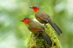 scarlet-faced liocichla (Liocichla ripponi) beautiful pair of red cheek and golden plumage birds perching on mossy spot over bright background in nature