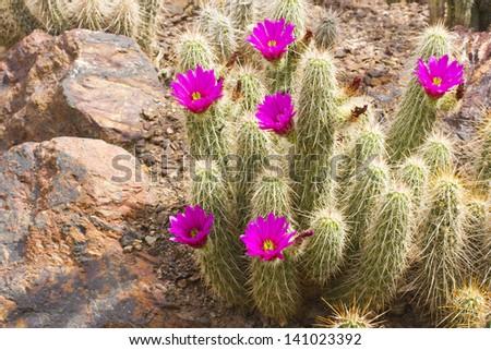 Scarlet Hedgehog cactus blooming; Botanical Garden, Phoenix, AZ