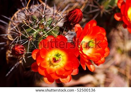 Scarlet Hedgehog Cactus flowers blooming in spring