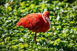 Scarlet ibis. Bird and birds. Water world and fauna. Wildlife and zoology. Nature and animal photography.