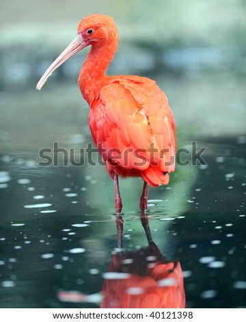 scarlet ibis in water with reflection, colombia, south america, red bird
