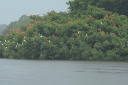 Scarlet Ibis roost. Eudocimus ruber. Caroni Swamp, Trinidad. 15 April 2014
