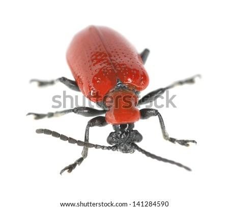 Scarlet lily beetle, Lilioceris lilii isolated on white background