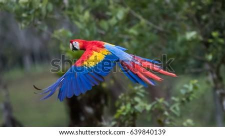 Shutterstock Scarlet Macaw