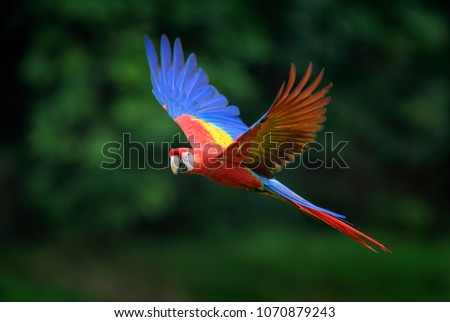 Scarlet Macaw - Ara macao, large beautiful colorful parrot from Central America forests, Costa Rica.