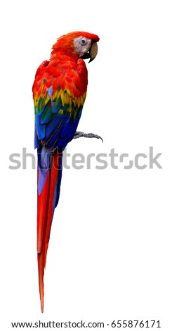 Scarlet macaw (Ara macao) large, red head, yellow and blue wings parrot bird on back feathers profile isolated on white background, fascinated bird