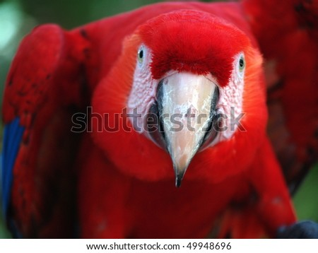 Scarlet Macaw (Ara macao) with attitude in Panama - stock photo