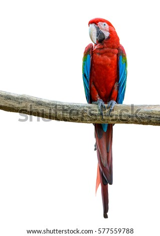 Shutterstock Scarlet macaw, beautiful bird isolated on branch with white background.