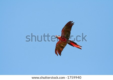 scarlet macaw flying from right to left, Ara macao