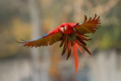 Scarlet macaw in the fly with spread wings.