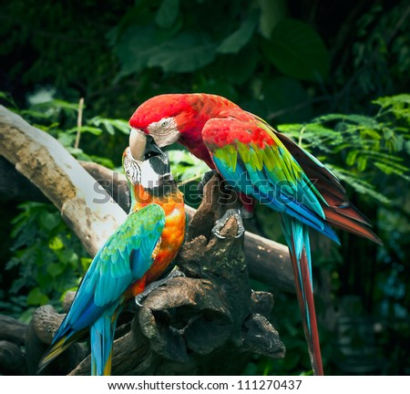 scarlet macaw kisses on blue and yellow macaw in nature